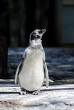 The penguin is basking in the sun Royalty Free Stock Photography