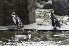 Penguin bathes Stock Photography