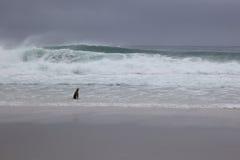 Penguin at the Beach Royalty Free Stock Photo
