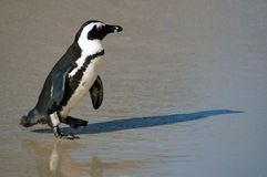 Penguin on Beach Royalty Free Stock Images
