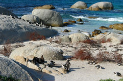 Penguin Beach. Lots of penguins on the beach Stock Image