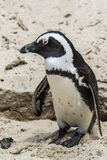 Penguin Beach, South Africa. Penguin Beach South Africa is located near Simonstown Town, about 20 kilometers from Cape Town. When it comes to penguins, people Stock Photography
