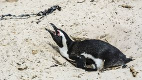 Penguin Beach, South Africa. Penguin Beach South Africa is located near Simonstown Town, about 20 kilometers from Cape Town. When it comes to penguins, people Stock Image