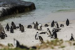 Penguin Beach, South Africa. Penguin Beach South Africa is located near Simonstown Town, about 20 kilometers from Cape Town. When it comes to penguins, people Royalty Free Stock Images
