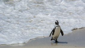 Penguin Beach, South Africa. Penguin Beach South Africa is located near Simonstown Town, about 20 kilometers from Cape Town. When it comes to penguins, people Royalty Free Stock Photography