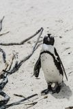Penguin Beach, South Africa. Penguin Beach South Africa is located near Simonstown Town, about 20 kilometers from Cape Town. When it comes to penguins, people Royalty Free Stock Image