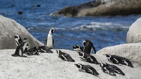 Penguin Beach, South Africa. Penguin Beach South Africa is located near Simonstown Town, about 20 kilometers from Cape Town. When it comes to penguins, people Stock Photos