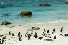 Penguin Beach, South Africa. Penguin Beach South Africa is located near Simonstown Town, about 20 kilometers from Cape Town. When it comes to penguins, people Stock Photo