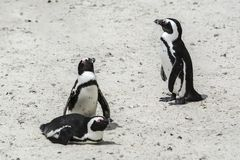 Penguin Beach, South Africa. Penguin Beach South Africa is located near Simonstown Town, about 20 kilometers from Cape Town. When it comes to penguins, people Royalty Free Stock Photos
