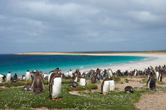 Penguin Beach Royalty Free Stock Image