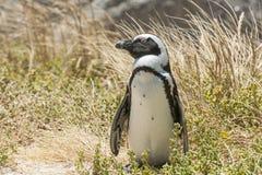 Penguin on beach. White sand grass sunny day Stock Images