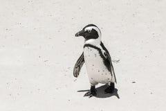 Penguin on beach. White sand sunny day Stock Images