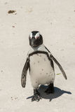 Penguin on beach. White sand sunny day Stock Image