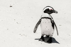 Penguin on beach. White sand sunny day Stock Photography