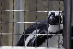 Penguin Behind Bars Stock Photography