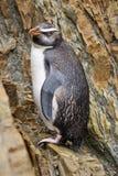 Penguin Bird New Zealand. A penguin found on the south Island of New Zealand Stock Photo