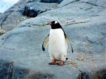 Penguin on Black Rock Royalty Free Stock Photography