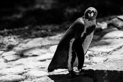 Penguin black and white animals portraits Stock Photos