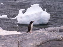 Penguin and block of ice. A gentoo penguin on an Antarctic beach with a block of ice stock images