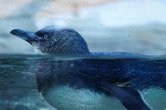 Penguin. Blue penguin swimming in the water . I shoot this photo when I when I went to the Taronga zoo, NSW , Australia stock photography