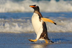 Penguin in the blue waves. Gentoo penguin, water bird jumps out of the blue water while swimming through the ocean in Falkland Isl Royalty Free Stock Image