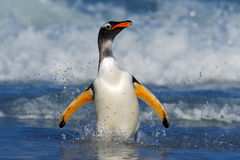 Penguin in the blue waves. Gentoo penguin, water bird jumps out of the blue water while swimming through the ocean in Falkland Isl Stock Photo