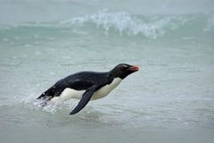 Penguin in the blue waves. Rockhopper penguin, water bird jumps out of the blue water while swimming through the ocean in Falkland Stock Images