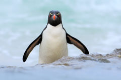 Penguin in the blue waves. Rockhopper penguin, water bird jumps out of the blue water while swimming through the ocean in Falkland Stock Photos