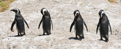 Penguin body language Stock Image