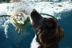 Penguin and border collie Royalty Free Stock Images