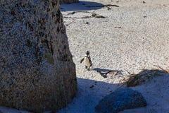 Penguin on Boulder beach, Simons Town. Royalty Free Stock Photo