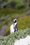 Penguin. On Boulder Beach, South Africa Royalty Free Stock Photo