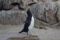 Penguin. On Boulder Beach, South Africa Stock Images