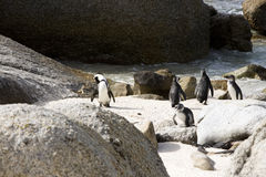 Penguin. On Boulder Beach, South Africa Royalty Free Stock Photos