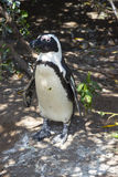 Penguin at Boulders Beach in Simonstown Royalty Free Stock Photo