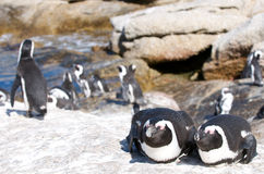 Penguin Buddies Royalty Free Stock Photography