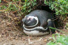 Penguin in burrow Royalty Free Stock Image