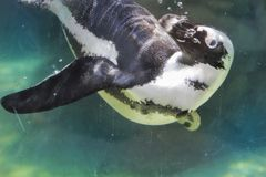 Penguin swimming in aquarium looks at camera. A penguin in capacity exhales bubbles when swimming in its tank Royalty Free Stock Image
