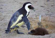 Penguin with chick. Female penguin with chick at Boulders beach in Cape town South Africa Stock Photo
