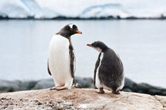 Penguin and chick Stock Photo