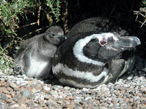Penguin with chick. Baby penguin snuggling onto its mother who suspiciously eyes around Stock Photos