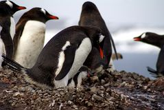 Penguin and chick in Antarctica Stock Photo