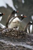 Penguin with chick and egg in Antarctica Royalty Free Stock Photo