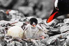 Penguin chick and mother