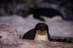 A Penguin chick at Seaworld, Orlando Stock Photography