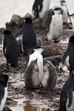Penguin with chicks in Antarctica Royalty Free Stock Photo