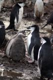 Penguin with chicks in Antarctica Stock Photos