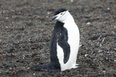 Penguin - chinstrap - Pygoscelis antarctica Stock Photo