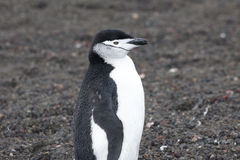 Penguin - chinstrap - Pygoscelis antarctica Royalty Free Stock Photos