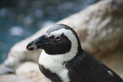 Penguin Stock Photography